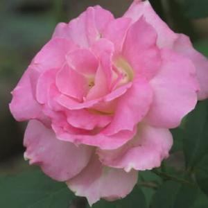 ☆きょうの庭バラ マチルダ&ジャックカルチエetc