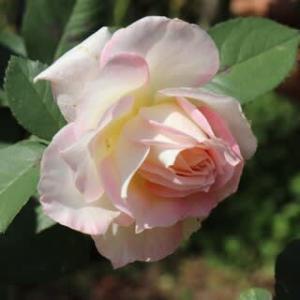 ☆きょうの庭バラ はっとしたセラフィムの蕾etc