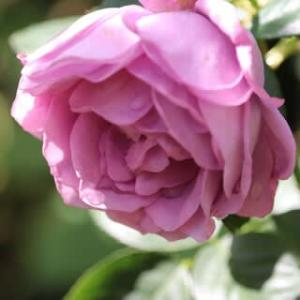 ☆きょうの庭バラ カインダブルーetc&バラの講座