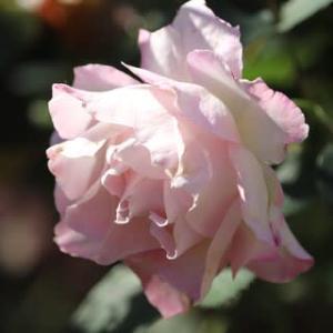 ☆きょうのセラフィム&マチルダ+◎小輪の庭花 ブータンルリマツリ*フジバカマ