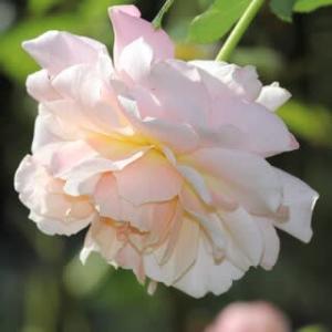 ☆きょうの庭バラ 秋色のシュシュetc&◎八重の白秋明菊+如雨露のハス口