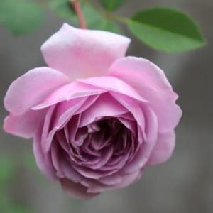 ☆きのうきょうの庭バラ 一輪のレイニーブルーetc