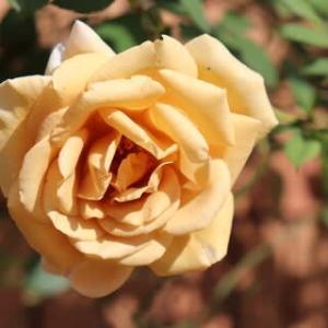 ☆きょうの庭バラ バタースコッチ&キャラメルアンティークetc