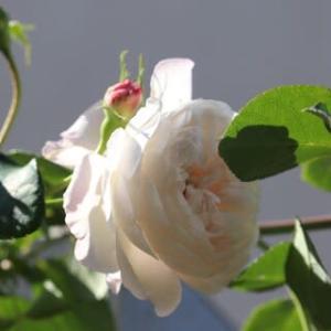 ☆きょうの庭バラ ジ・オルブライトンランブラー
