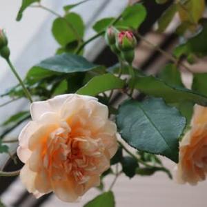 きょうの庭バラ バフ・ビューティーetc