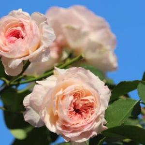 ☆秋空に映えるジ・オルブライトン・ランブラー&花壇にエコ苗