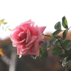 ☆雨上がりの庭バラ&◎クレマチスジングルベル