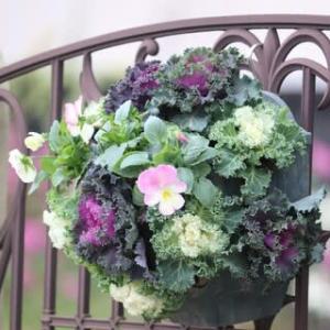 ◎作り直しの葉ボタンハンギング&庭花は今 11/24
