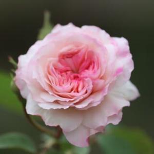 ☆きょうの庭バラ ジ・オルブライトン・ランブラーetc&植え替えた鉢植えバラ