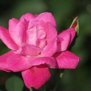 ☆庭バラの2番花スタート&◎切り戻していたビオラ