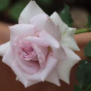 ☆雨のやみ間の庭バラ
