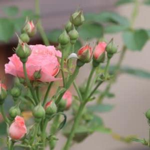 ☆咲いてきた♪ロマンチックチュチュetc&ジャスミーナにアーチ