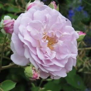 ◎レイニーブルー&ミニダリア ハミングブロンズは花盛り