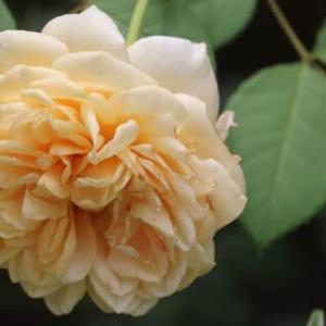◎咲いてる花&あがった蕾@ベニバナトキワマンサク辺り