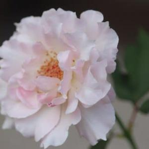 ☆咲いたバラ ラ・マリエ・・&届いたバラ 河本バラ カルトナージュ