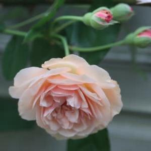 ☆開花バラはピンク系&外置きストーブ