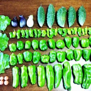 ●家庭菜園の野菜を大量収穫♪夏も秋も豊作で嬉しすぎる♡ピーマン3種・とまと6種・モロヘイヤなど…