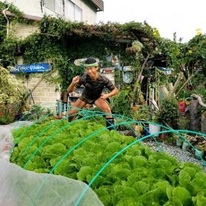 【日記20191020】 白菜🥬の害虫🐛取り❣【KimiponFactory】