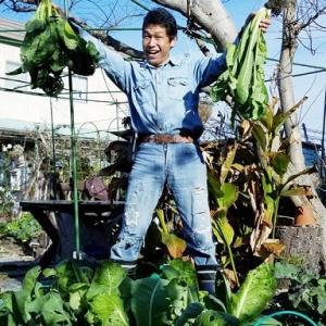 【日記20200119】《阿蘇高菜》収穫❣【KimiponFactory】