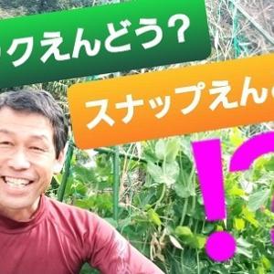 【日記20200323】自然堆肥で《スナップえんどう》を栽培❣【KimiponFactory】