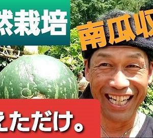 【日記20200915】F1カボチャの自家採取種2代目収穫❣【KimiponFactory】