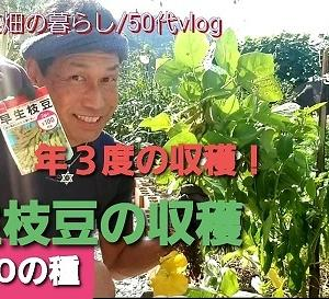 【日記20200923】DAISOの50円の種で3度収穫の枝豆❣【KimiponFactory】