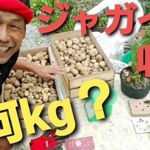 【日記20210602】3月15日に定植したジャガイモ🥔収穫❣【きみぽんひろば。】