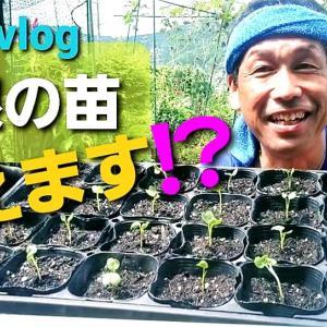 【日記20210909/30℃】大根の苗を定植します❣【きみぽんひろば。】