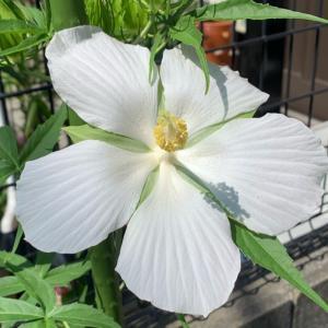 白い紅葉葵
