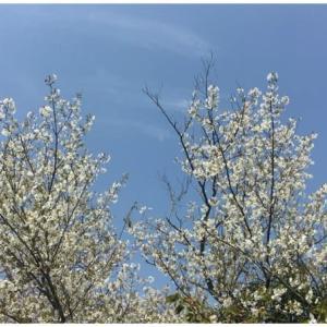 自宅で花見🌸&野鳥観察🐤