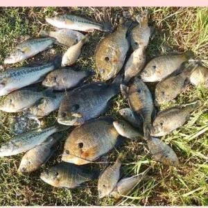 外来魚の最終段階