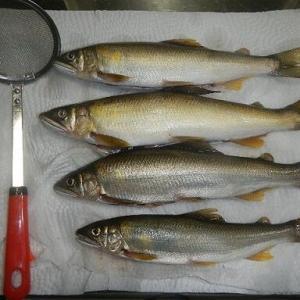 矢作川と豊川の鮎の食べ比べ