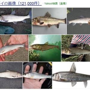 鮎のオトリの損失を減らすコロガシバージョンで