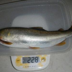 今年はまだ28cmで228グラムが最大の鮎 愛知県内