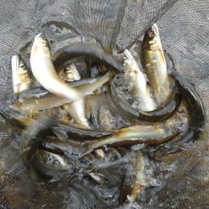 小さな鮎も美味しく食べられる方法