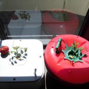 ハイポニカ新機種 MASUKO(マスコ)と601型果菜ちゃんの比較栽培