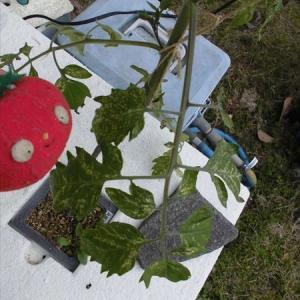 トマト・ミニトマトの葉に白い斑点が… 原因は?(移動後や定植後の葉焼けについて)