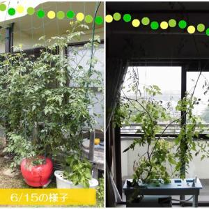 窓際で残ったミニトマトと屋外に移動したミニトマト、どうなったか