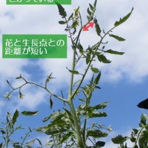 トマト・ミニトマトの高温障害(生長点・葉)