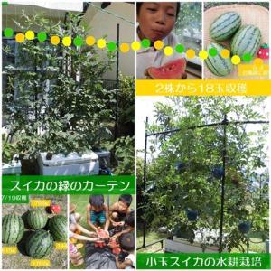 水耕栽培で小玉スイカ!2株から18玉収穫!食べるグリーンカーテンで美味しくエコ