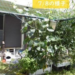 ホームハイポニカPLAABO(プラーボ)に大きく育つ植物を植えたらどうなる?