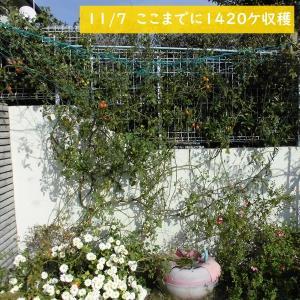 屋外栽培のまま、たまたま偶然越冬したミニトマトの栽培経過