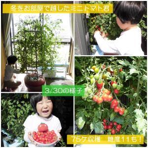 屋外ビニールハウス・室内窓際で越冬したミニトマトの栽培比較