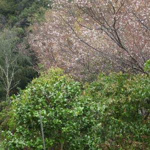 御所市 橋本院 十月桜