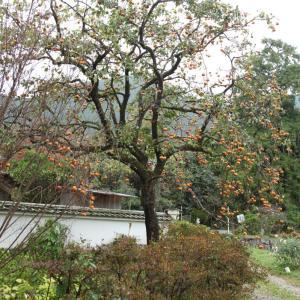御所市 橋本院 柿の木