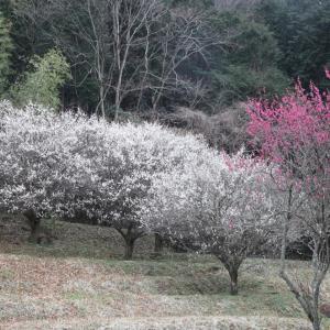 明日香 小原(おおはら) 梅