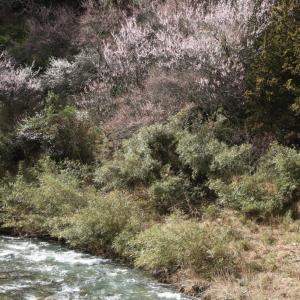 五條市 川岸 啓翁桜