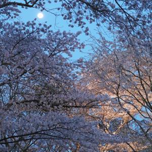 吉野山 中千本 夜桜 お月さん