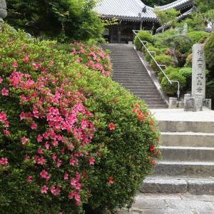 御所市 九品寺(くほんじ) サツキ ユキノシタ