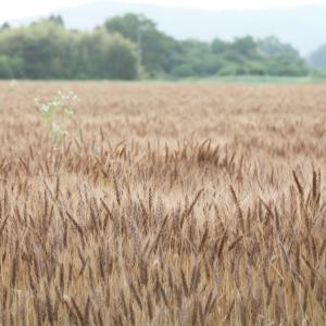 三重県 伊賀市 依那具 麦畑